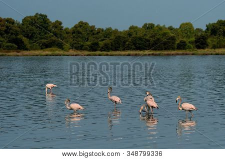 Greater Flamingo - Phoenicopterus Roseus The Most Widespread And Largest Species Of Flamingo Family,