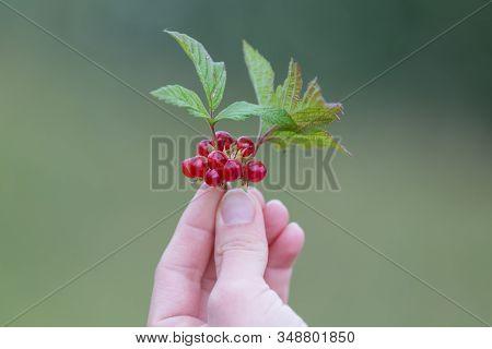 Red Berry Rubus Saxatilis Or Stone Bramble.