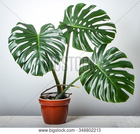 Monster With Three Big Leaves In A Pink Pot On A White Background