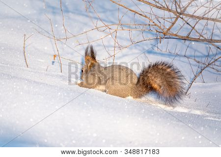 Squirrel Hides Nuts In The White Snow. Eurasian Red Squirrel, Sciurus Vulgaris