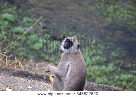 Black Mouth Langur Monkey With It Hand Banana, Outdoors Wild Animals.monkey Sitting In The Forest Of