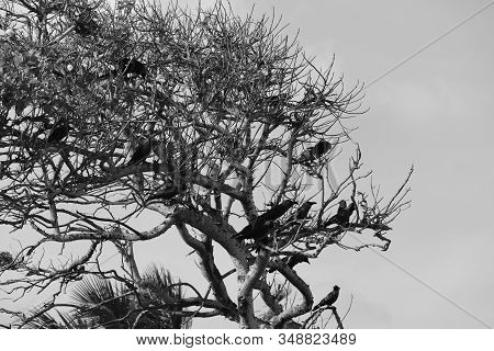 Monochrome Of A Large Group Of Black Crows On Tree, Monochrome Crows Birds.close Up Of A Bird House