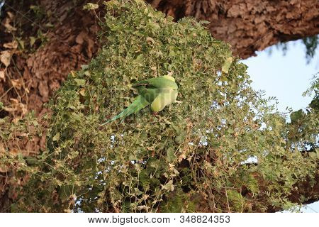 A Parrot Bird Eating Something In Nature , Outdoors Parrot Birds, Photography Of  Birds, Single Bird
