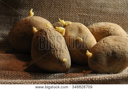 Close-up Of Wrinkly Old Potatoes With Sprouting Shoots And Soil On Husk