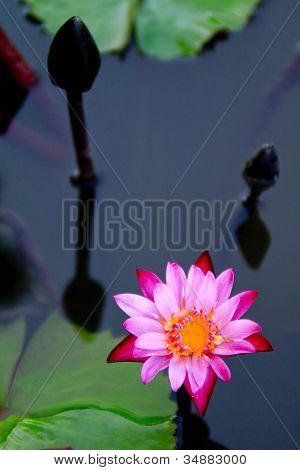 Lotus blühen