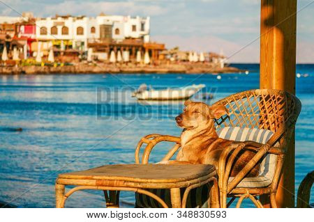 Dog Enjoing The Sun On A Deck Chair On The Shore Of The Red Sea