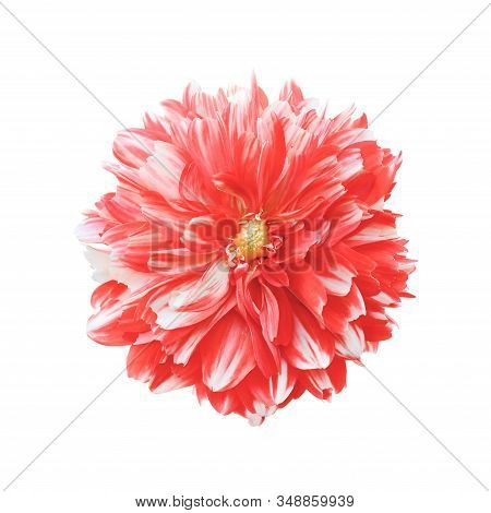 Bright Crimson Dahlia Flower Head Close Up. Dahlia Flower Isolated On White Background. Top View. Au