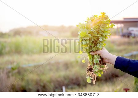 Fresh Organic Vegetable Coriander Or Cilantro Bunch In Farm, Harvest And Agriculture For Healthy Foo