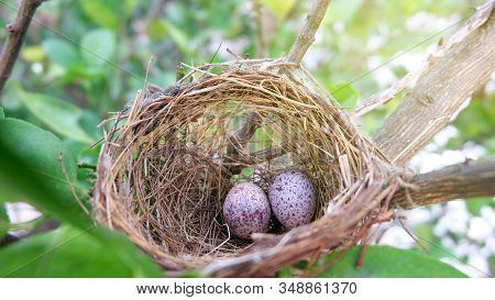 Wild Bird Eggs In A Nest On A Tree,a Wild Songbird Made A Nest In A Secluded Place In The Garden. A