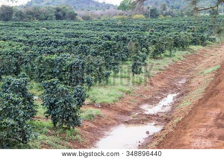 Coffee Bushes In Organic Plantation On The Pak Se District