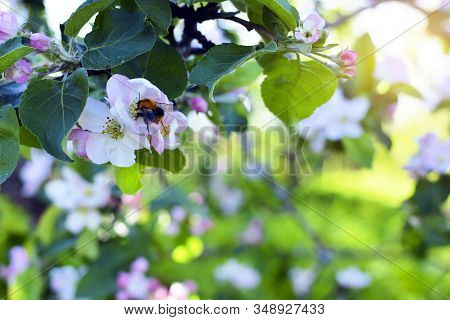 Flowering Apple Tree With A Flying Bumblebee. Close Up Of A Flowering Apple Tree With A Flying Bumbl
