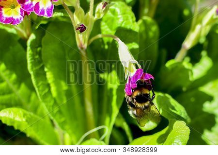 Bumblebee On A Red Flower Among Green Leaves. On Flower Nectar. Collect Nectar.