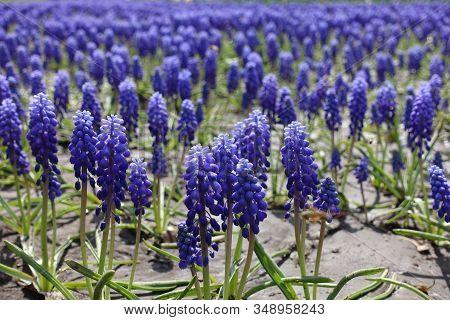 Countless Violet Flowers Of Armenian Grape Hyacinths In April