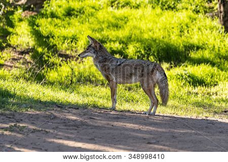 Large coyote looking for breakfast at Santa Susana Pass State Historic Park near Los Angeles and Simi Valley in Southern California.