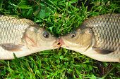 Freshwater fish Carp catch in green grass poster