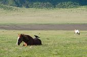 Crow on a relaxes horse surrounded by grass poster