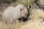 Black rhinoceros in Etosha National Park, Namibia poster
