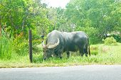 Stock Photo - Thai  big buffalo eating poster