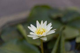 White Lotus With Yellow Pollen In Garden