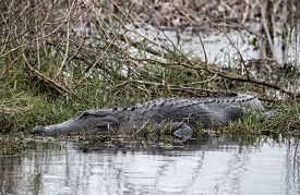American Alligator Resting In A Swamp In Florida.
