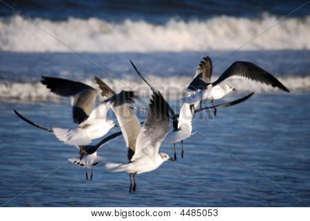 Gulls In The Surf