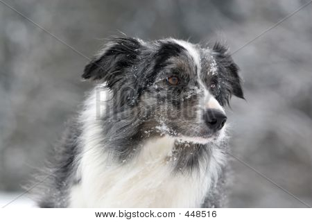 Bluemerle Border Collie