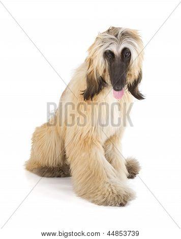 Afghan Hound (Sage Balochi Ogar Afgan Eastern Greyhound Persian Greyhound) poster