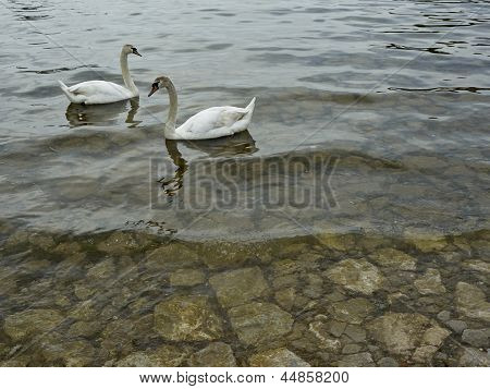 Swans in the port of lake Ohrid poster