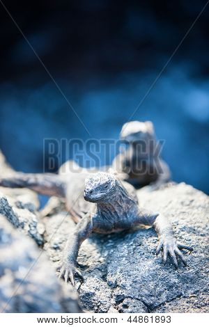 Endemic Galapagos marine iguanas on rocks poster