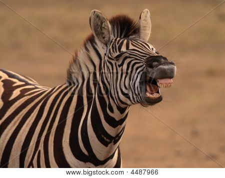 Burchells Zebra equus Burchellii Showing Flehmen Response (pheremone Detection With Jacobsons Orga
