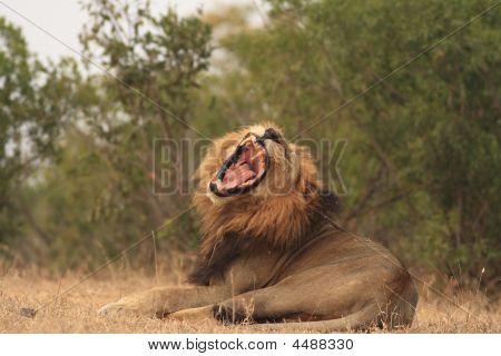 Roaring Lion panthera Leo