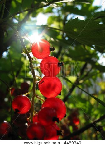 Red Currant In Sunlight