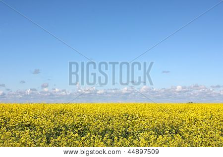 Flowering yellow field and blue sky