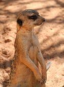 meerkat watching, alone poster