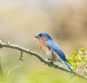 Male Eastern Bluebird carrying insects to feed his brood poster