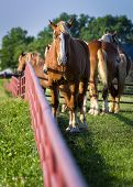 Gorgeous Palomino horses on a Texas farm in early morning light poster