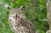 Portrait of Great Horned Owl (Bubo virginianus) aka Tiger Owl, trees on the background poster