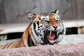 A Siberian tiger (Panthera tigris altaica) roaring with the mouth wide open and showing his dangerous teeth poster