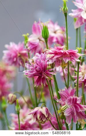 Aquilegia (common Names: Granny's Bonnet Or Columbine) Is A Perennial Plants.