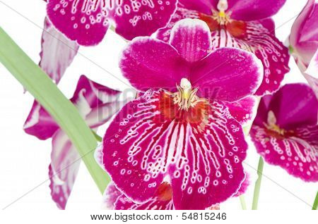 Pansy Orchid - Miltonia Lawless Falls