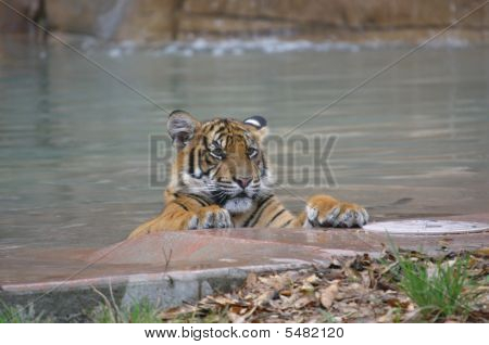 Tiger Having A Swim