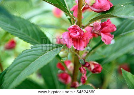 Garden Balsam Or Rose Balsam