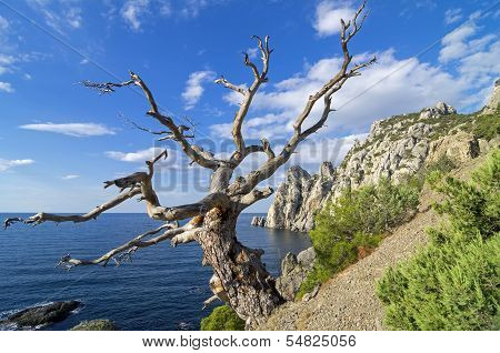 Dead  pine On The Cliff Above The Sea.
