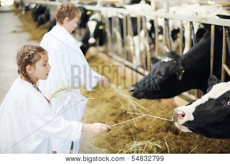 Happy boy and girl in white robes give hay for cows in long stall. Focus on right cow and girl.