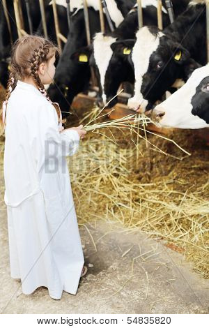 Back of little girl in white robe giving hay to cows at large farm. Focus on girl.