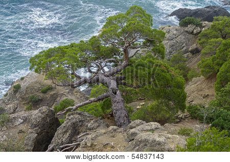 Pine Trees On A Steep Slope Above The Sea.