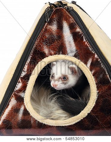 Young sable ferret sticking out of the house poster