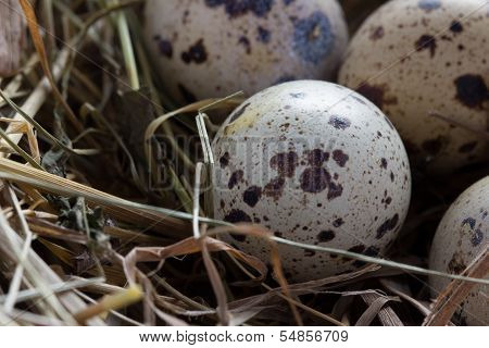 quail eggs in a nest of hay close-up poster