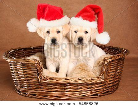 Two yellow lab Christmas puppies wearing Santa hats.