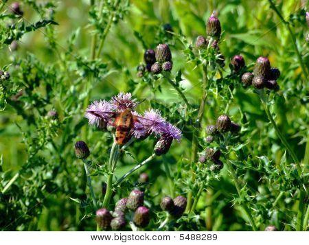 Hummingbird Moth Macro